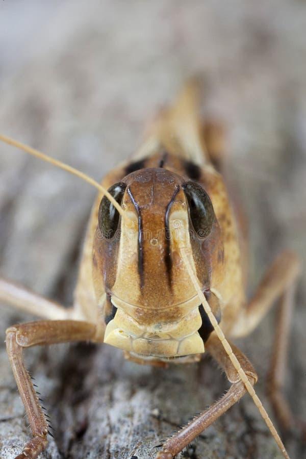 Locust royalty free stock image