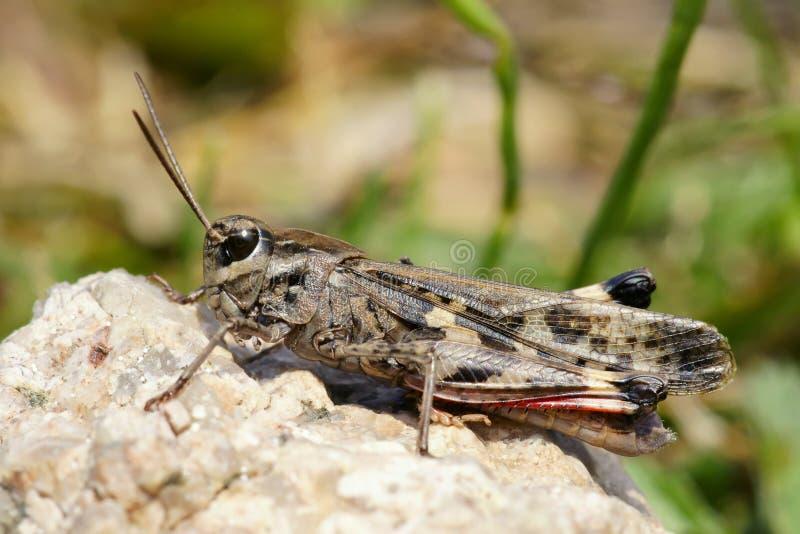 Download Locust stock photo. Image of macro, animals, grasshoppers - 21311736