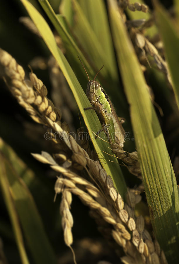 Download Locust stock image. Image of pest, agricultural, leaves - 27017551