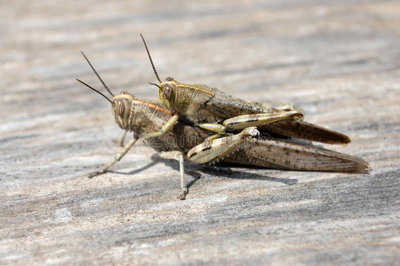 Download Locust stock image. Image of fauna, insect, locust, ovipositor - 27154303