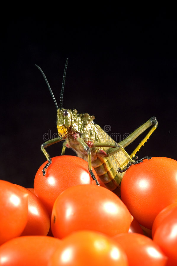 Locust royalty free stock images