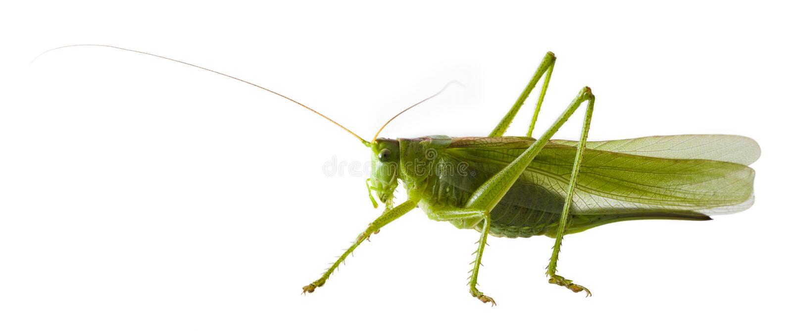 Download Locust stock image. Image of acrididae, appetite, insect - 9887937