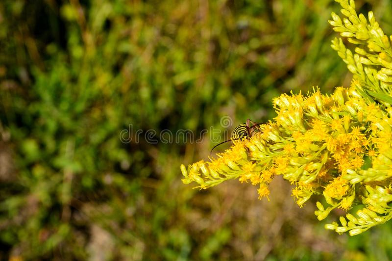 Download Locust Borer Longhorn Beetle On Goldenrod Flowers Stock Image - Image of robiniae, commonly: 105724623