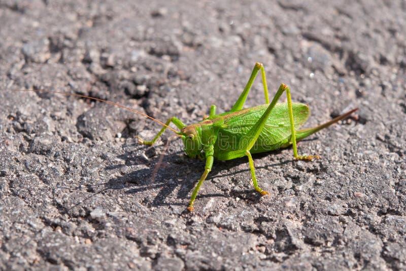 Download Locust, grasshopper stock image. Image of head, nature - 26500333