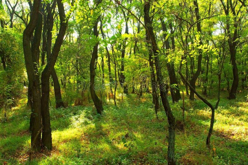 Locust grove in summer. Shot in Poltavska Region, Ukraine stock photos