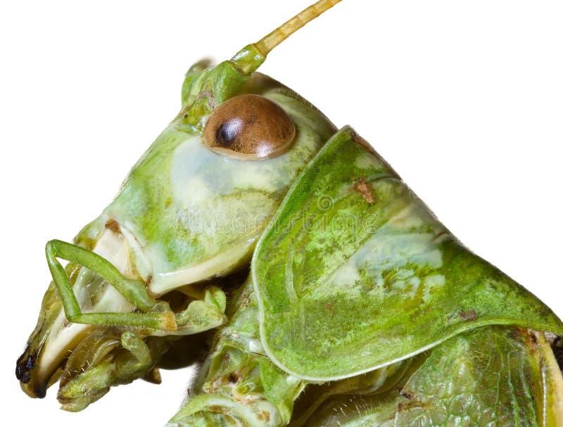 Locust Head Cutout stock photography