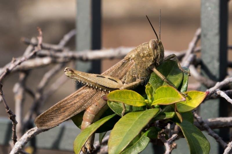 Locust locusta migratoria royalty free stock photo