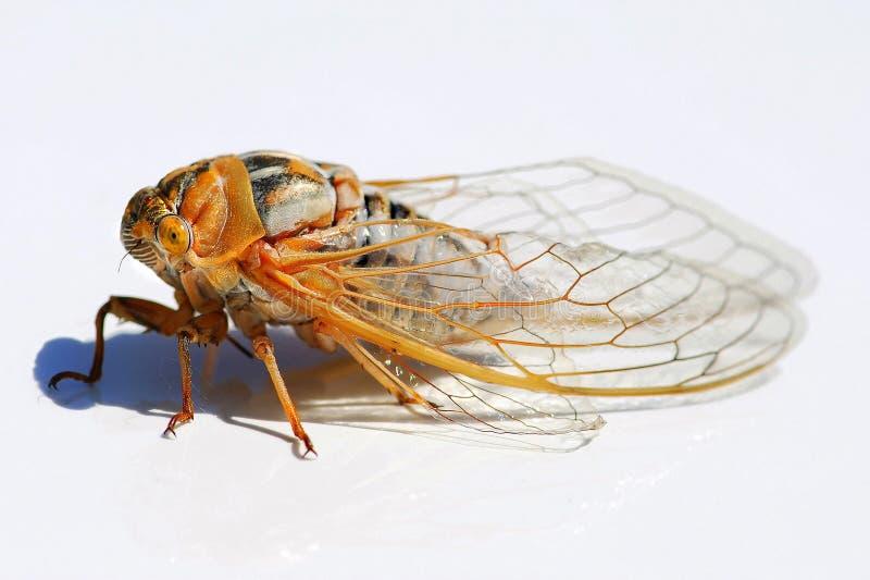 Locust profile royalty free stock photos
