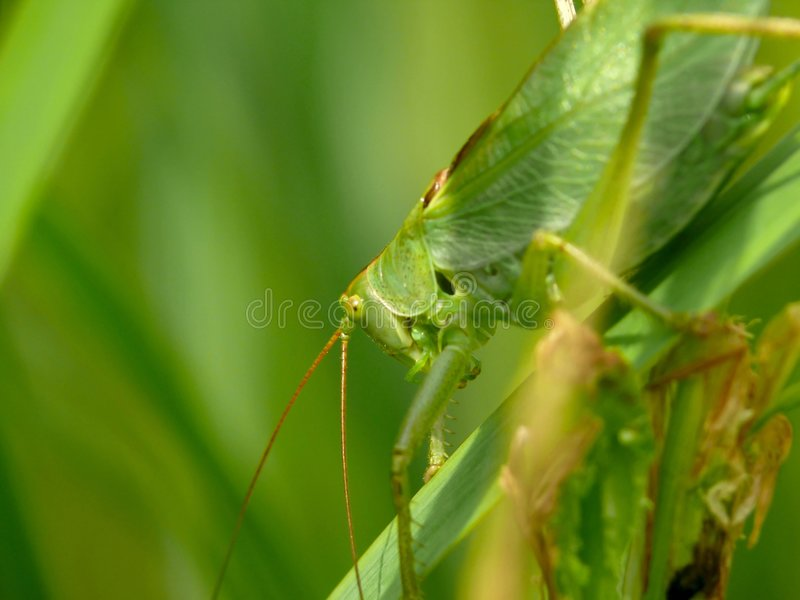 Download Locust Sitting On Leave. A Grasshopper. Royalty Free Stock Images - Image: 7209999