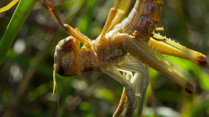 The locust transform into winged adult and with wings they can take to the skies.in their search for new feeding grounds., royalty free stock images