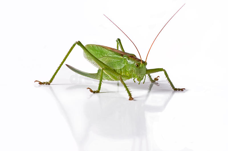 Locusta immagine stock