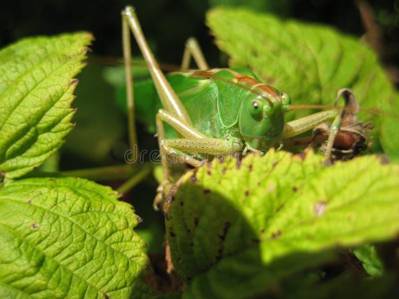 Locusta 5 immagine stock