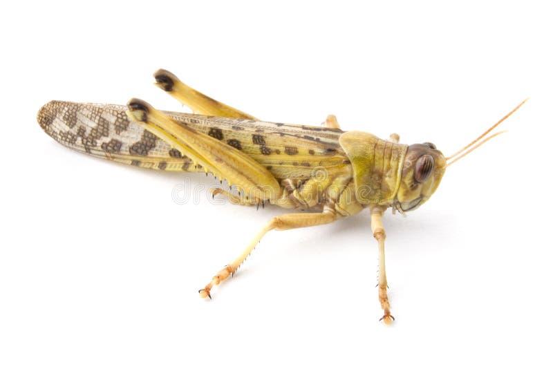 Locusta africana del deserto fotografie stock
