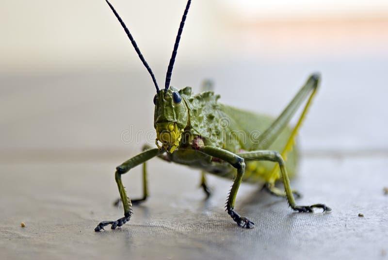 Locusta - battendo al portello immagine stock