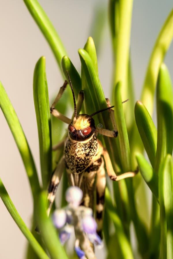 Locusta che si siede nell'erba immagini stock