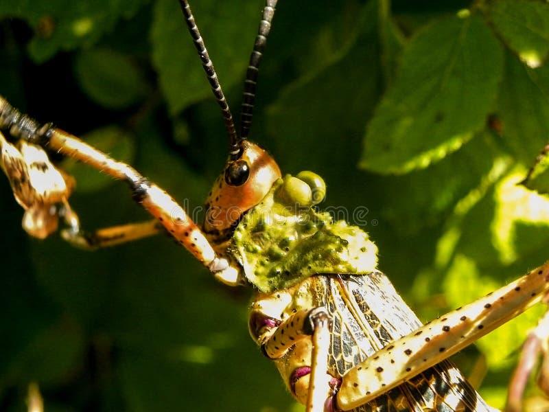 Locusta comune del milkweed fotografia stock libera da diritti