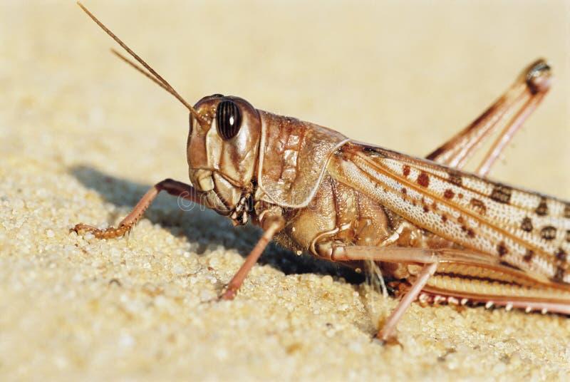 Locusta del deserto fotografia stock
