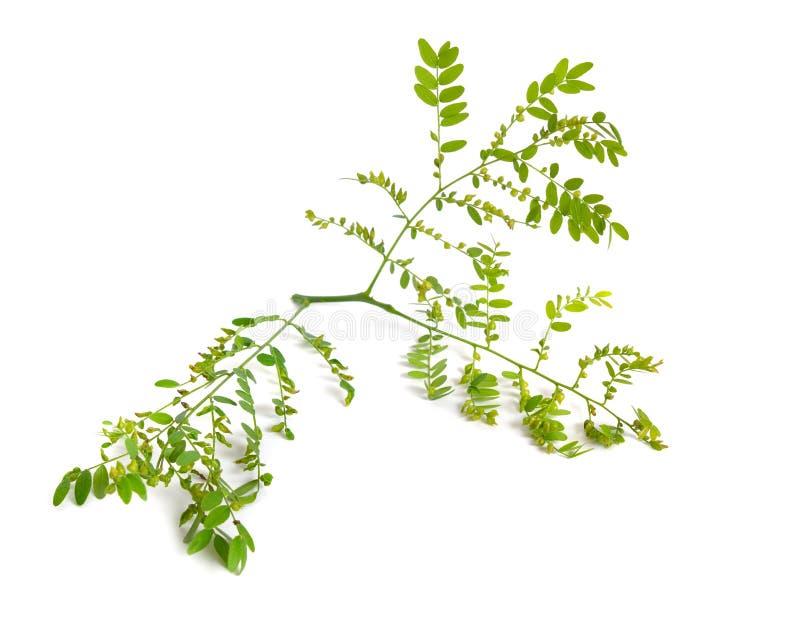 Locusta di Gleditsiaor della pianta isolata su fondo bianco fotografie stock libere da diritti