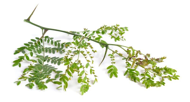 Locusta di Gleditsiaor della pianta isolata su fondo bianco immagini stock libere da diritti