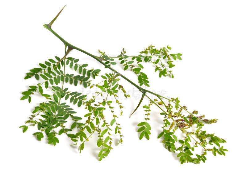 Locusta di Gleditsiaor della pianta isolata su fondo bianco immagine stock