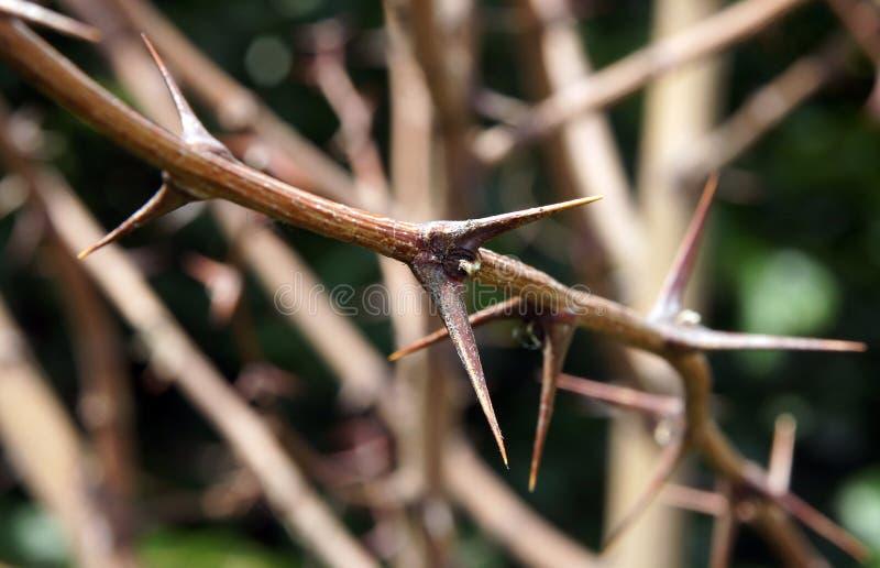 Locusta di Thorn Prickles Black immagini stock libere da diritti