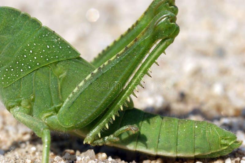 Locusta divertente verde del grasshoper sulla sabbia immagini stock