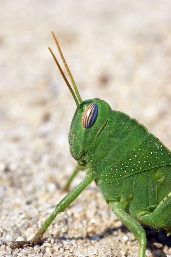 Locusta divertente verde del grasshoper sulla sabbia immagine stock libera da diritti