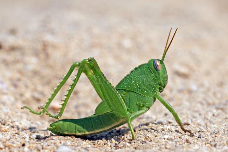 Locusta divertente verde del grasshoper sulla sabbia fotografia stock