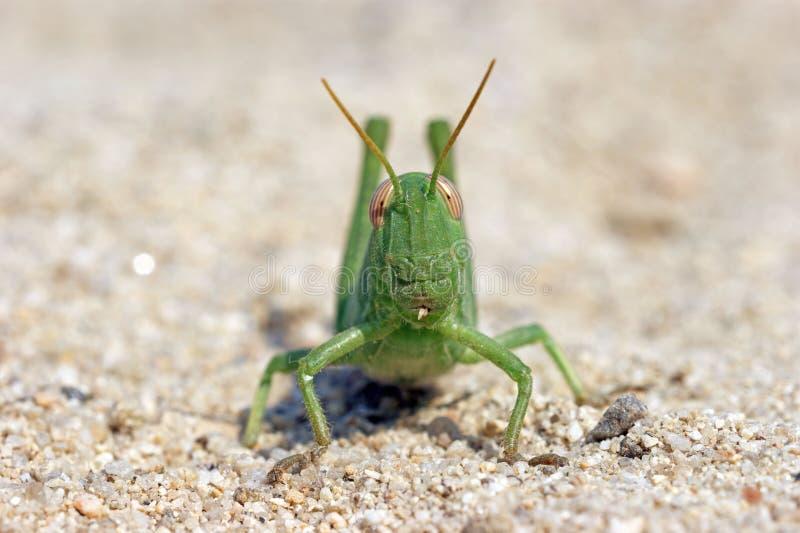 Locusta divertente verde del grasshoper sulla sabbia immagini stock libere da diritti