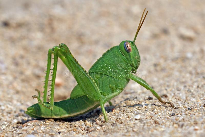 Locusta divertente verde del grasshoper sulla sabbia immagine stock
