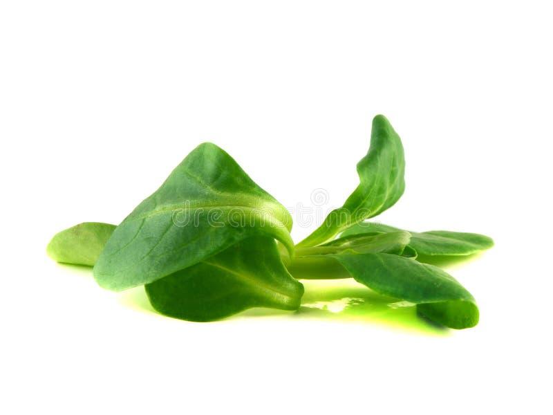 Locusta do Valerianella, salada de milho, a erva-benta imagens de stock