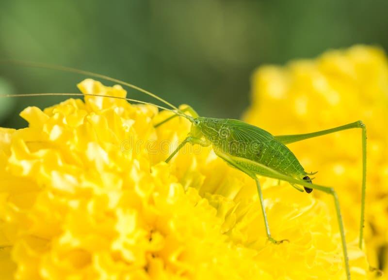 Locusta e feci verdi della cavalletta fotografia stock libera da diritti