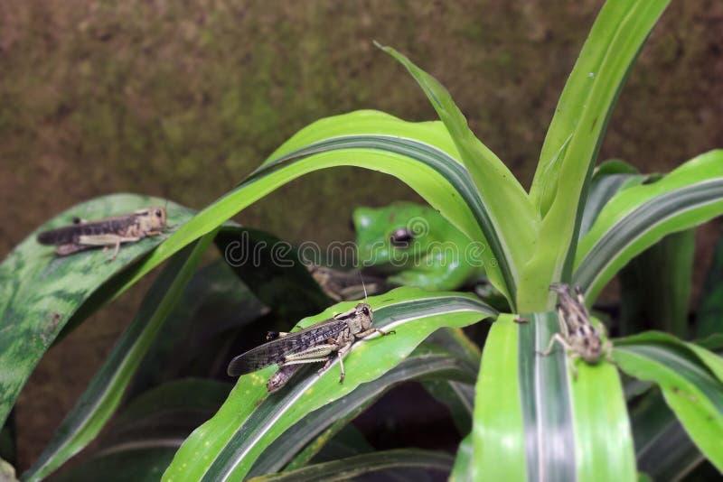 Locusta ed il suo predatore - rana di volo di Wallaces (nigropalmatus di Rhacophorus) fotografie stock libere da diritti