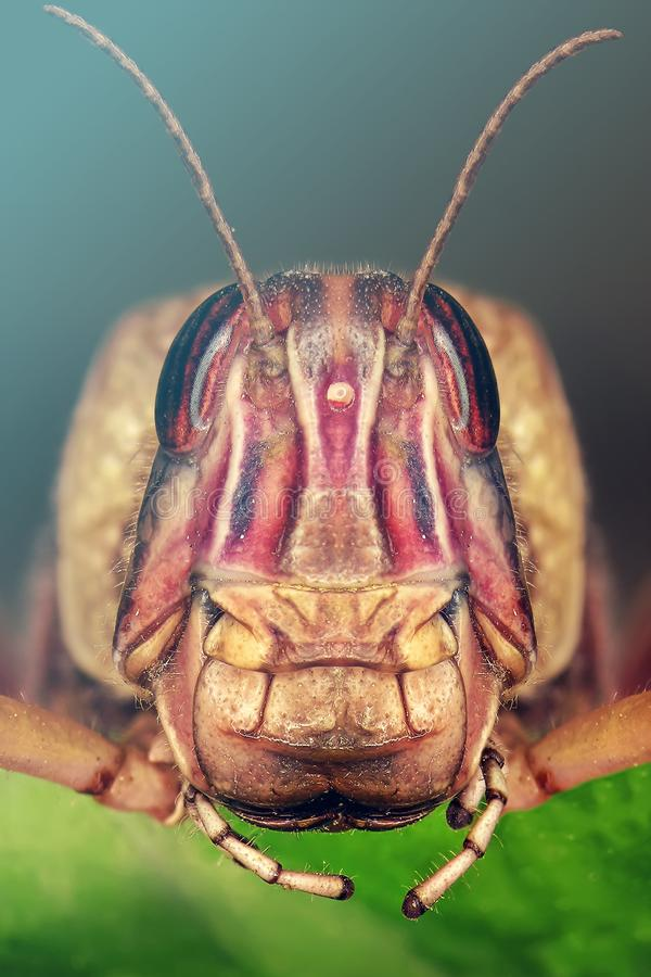 Locusta migratore fotografie stock