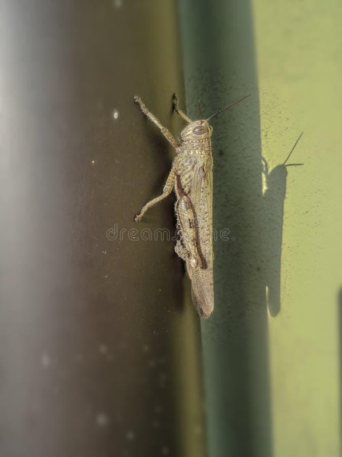 Locusta migratore immagini stock