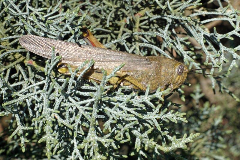 Locusta migratore fotografia stock libera da diritti