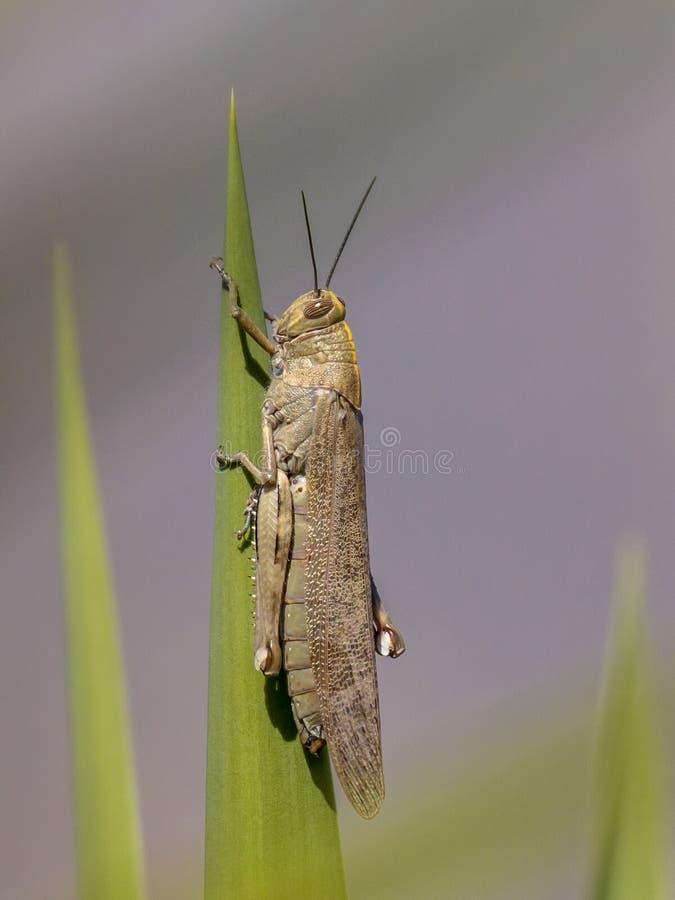 Locusta migratore appollaiata sulla pianta fotografie stock