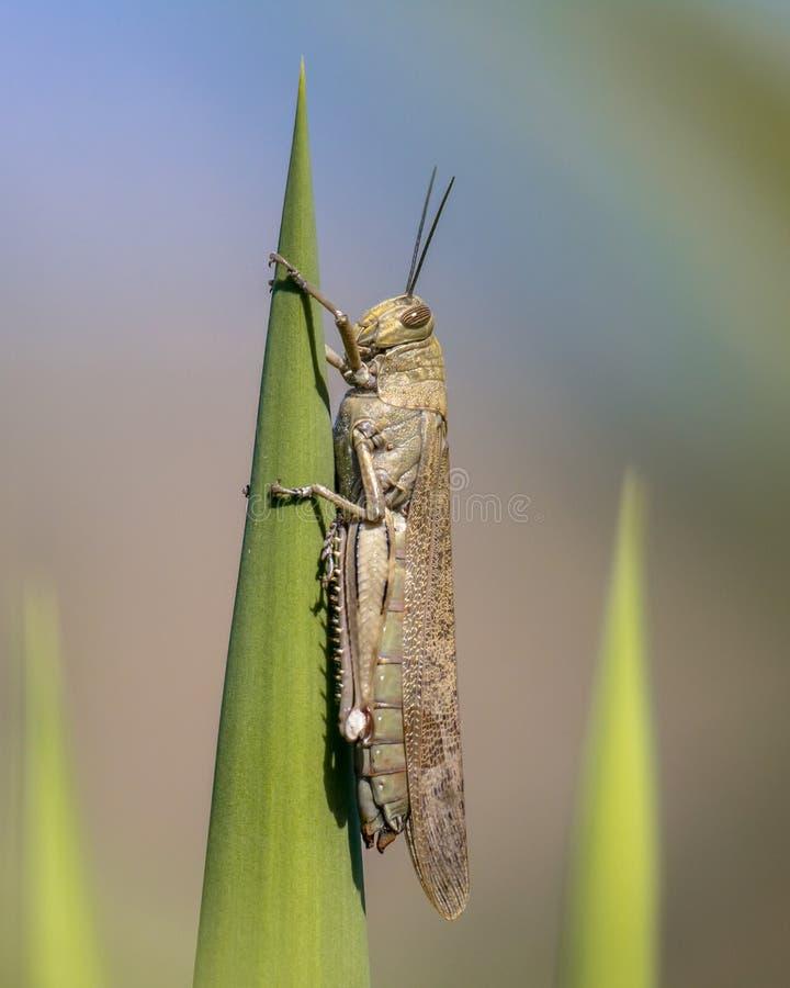 Locusta migratore appollaiata sulla pianta verde fotografia stock