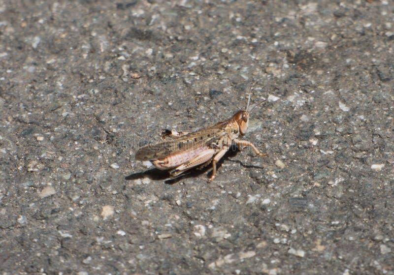 Locusta migratore che si siede sull'asfalto grigio immagini stock libere da diritti