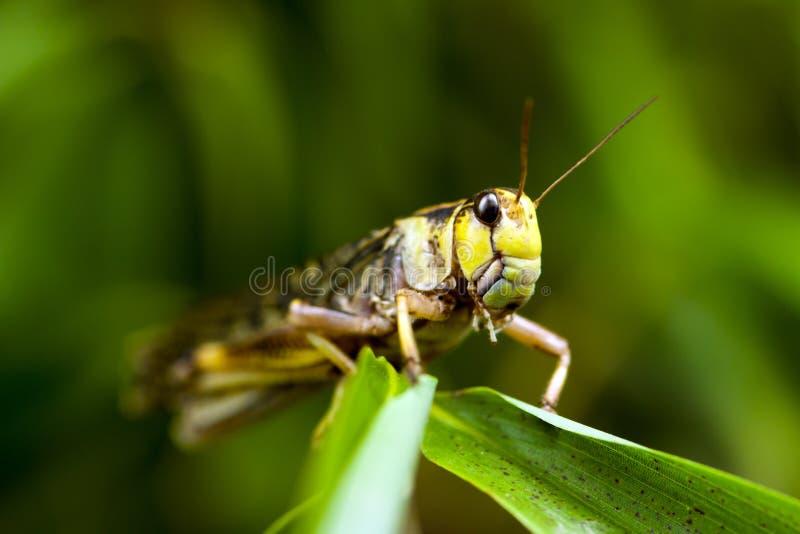 Locusta migratore (locusta migratoria) fotografia stock