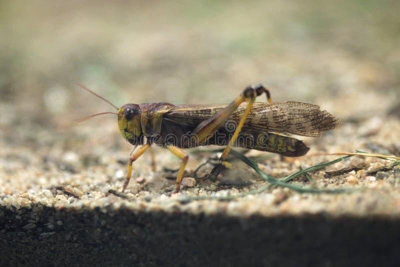 Locusta migratore (locusta migratoria) immagini stock