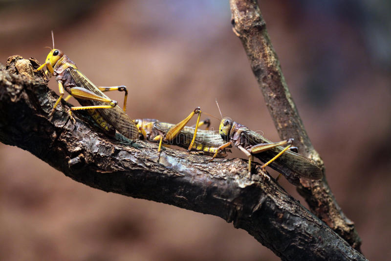 Locusta migratore (locusta migratoria) immagini stock libere da diritti