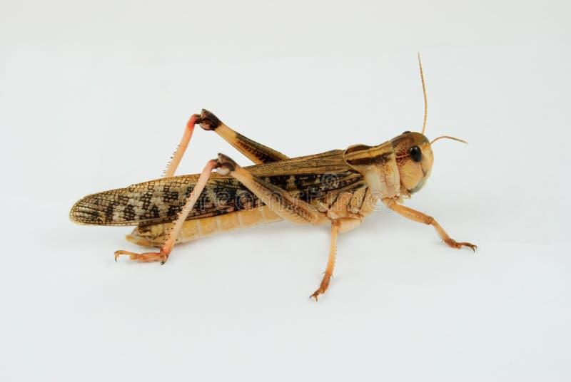 Locusta migratore (locusta migratoria) - destra fotografia stock