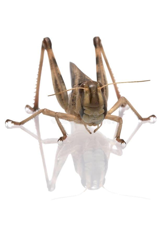Locusta migratore - (migratoria del Locusta) immagine stock