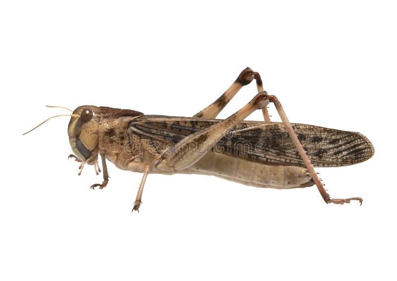 Locusta migratore - (migratoria del Locusta) immagine stock libera da diritti