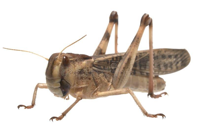Locusta migratore - (migratoria del Locusta) immagini stock