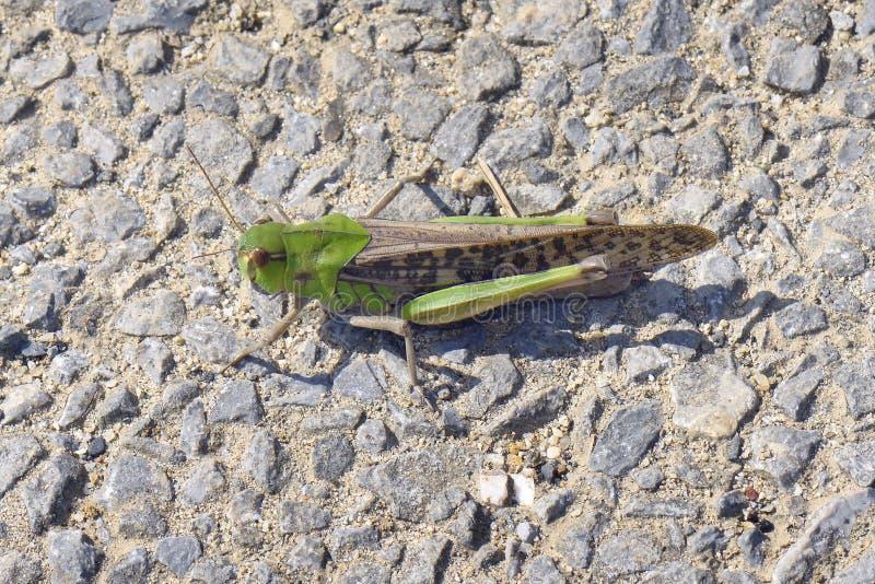 Locusta migratore orientale immagini stock