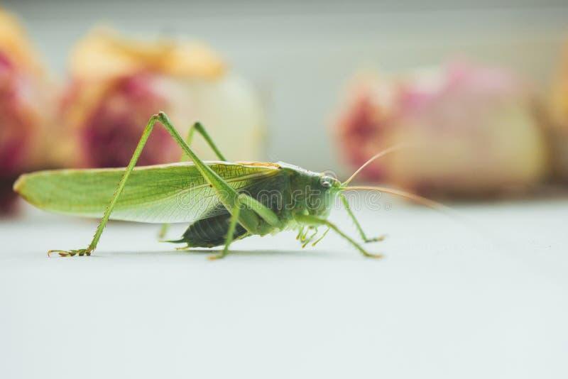 Locusta o cavalletta su un primo piano bianco della tavola su un fondo vago insetto nocivo verde in tensione nella macro katydid  fotografie stock