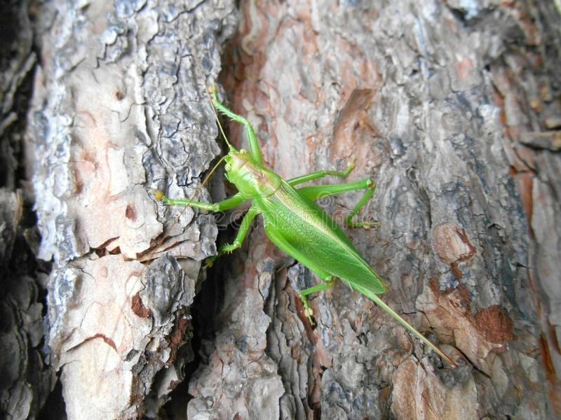 Locusta su un albero di legno immagini stock libere da diritti
