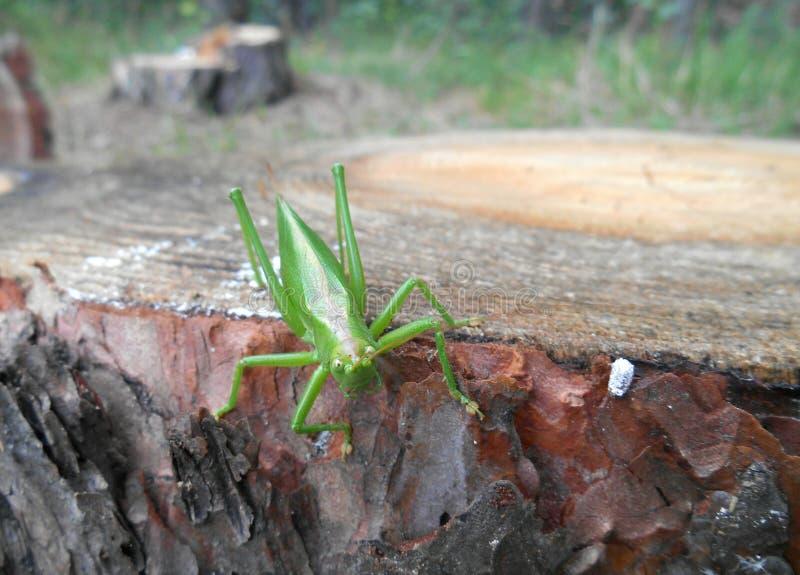 Locusta su un albero di legno immagine stock libera da diritti